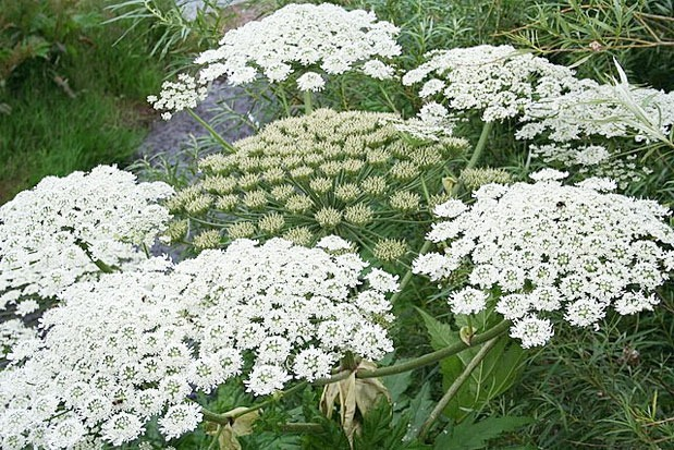 Beware giant weed that burns and blinds looks like queen annes lace