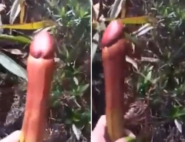 Penis-Plant2