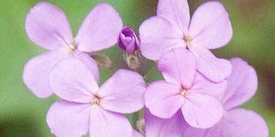 How To Grow Violets