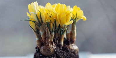 How-To: Planting Bulbs