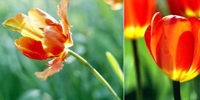 November 2004: Tulip