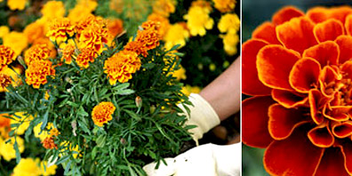 October 2005: Marigold