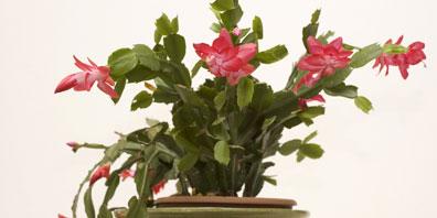 Plant Profile: Christmas Cactus