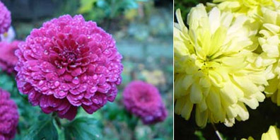 Plant Profile: Chrysanthemum