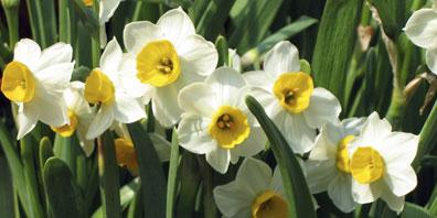 Plant Profile: Daffodils (Narcissus)