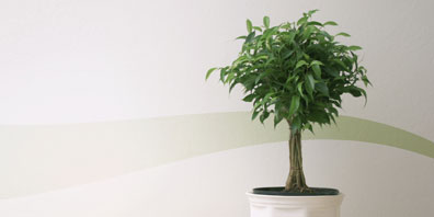 Plant Profile: Ficus benjamina (Weeping Fig)
