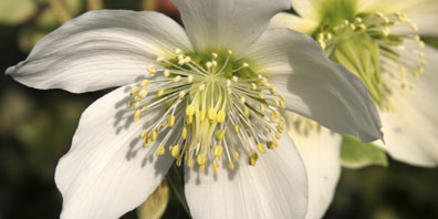 Plant Profile: Hellebore (Christmas or Lenten Rose)