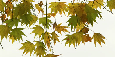 Plant Profile: Japanese Maples