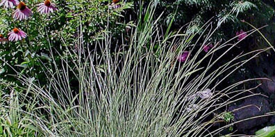 Plant Profile: Japanese Silver Grass (Miscanthus sinensis)