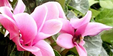 Recycling a Cyclamen