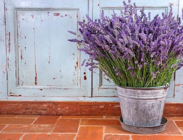 lavender - Pretty Plants