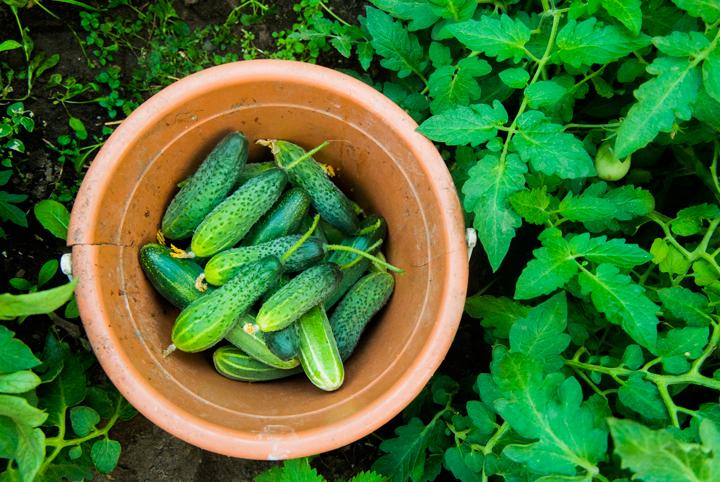 How-Grow-Cucumbers-Easiest-Vegetables-Blog
