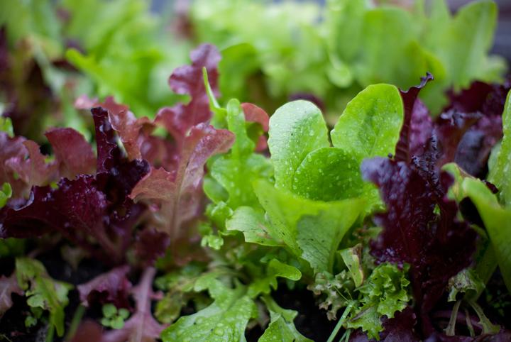 How-Grow-Lettuce-Easiest-Vegetables-Blog