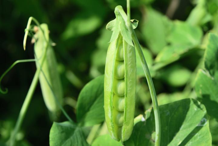 How-Grow-Peas-Easiest-Vegetables-Blog