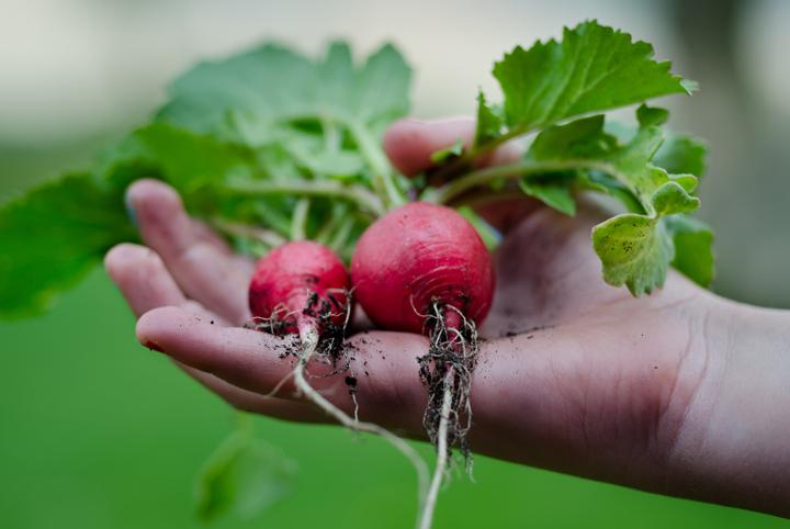 How-Grow-Radishes-Easiest-Vegetables-Blog