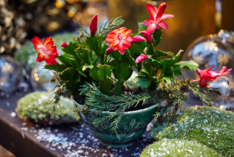 20 Tips to Get Your Christmas Cactus to Bloom During the Holidays